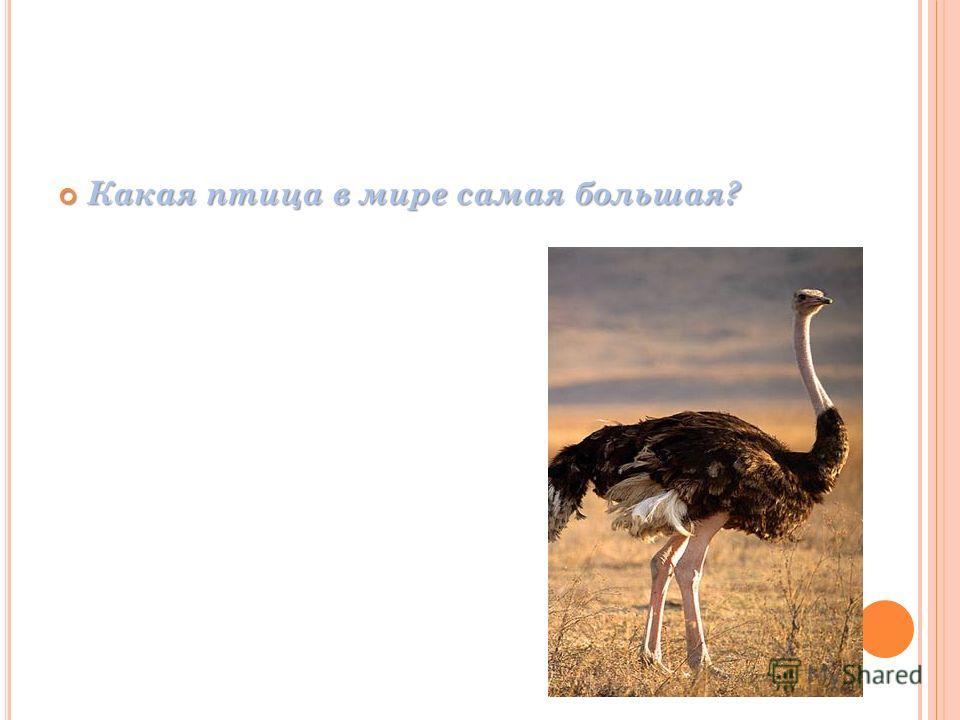 Какая птица в мире самая большая? Какая птица в мире самая большая?