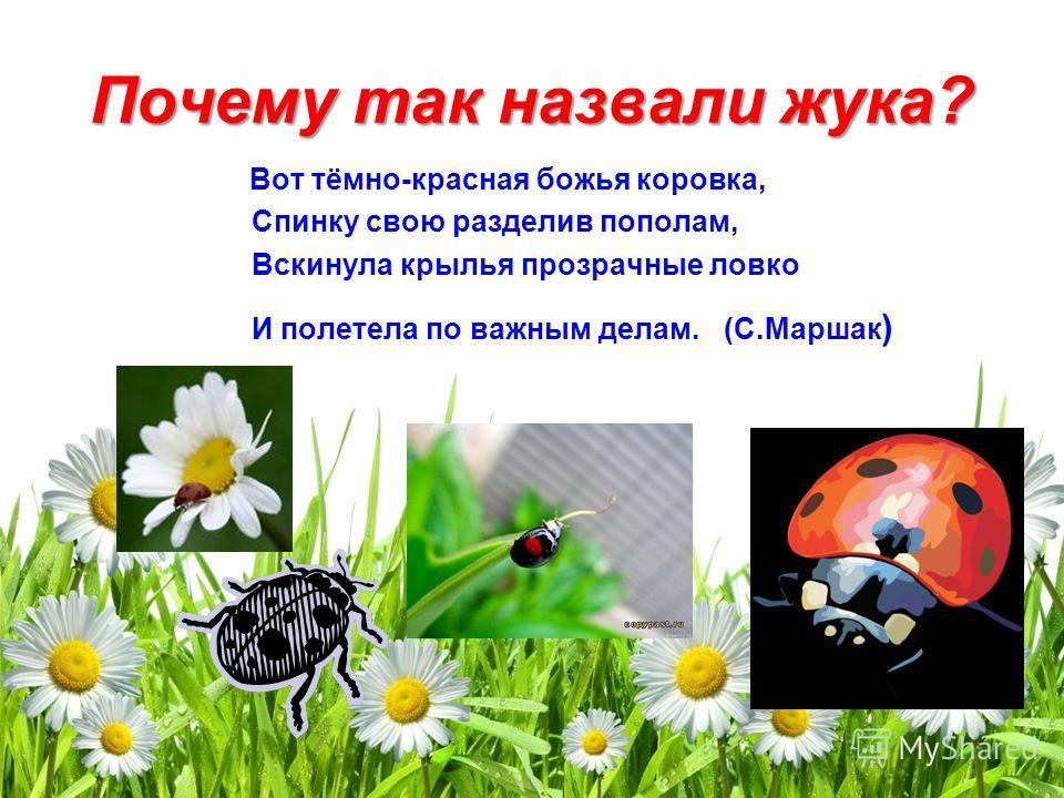 Почему так назвали жука? Вот тёмно-красная божья коровка, Спинку свою разделив пополам, Вскинула крылья прозрачные ловко И полетела по важным делам. (С.Маршак )