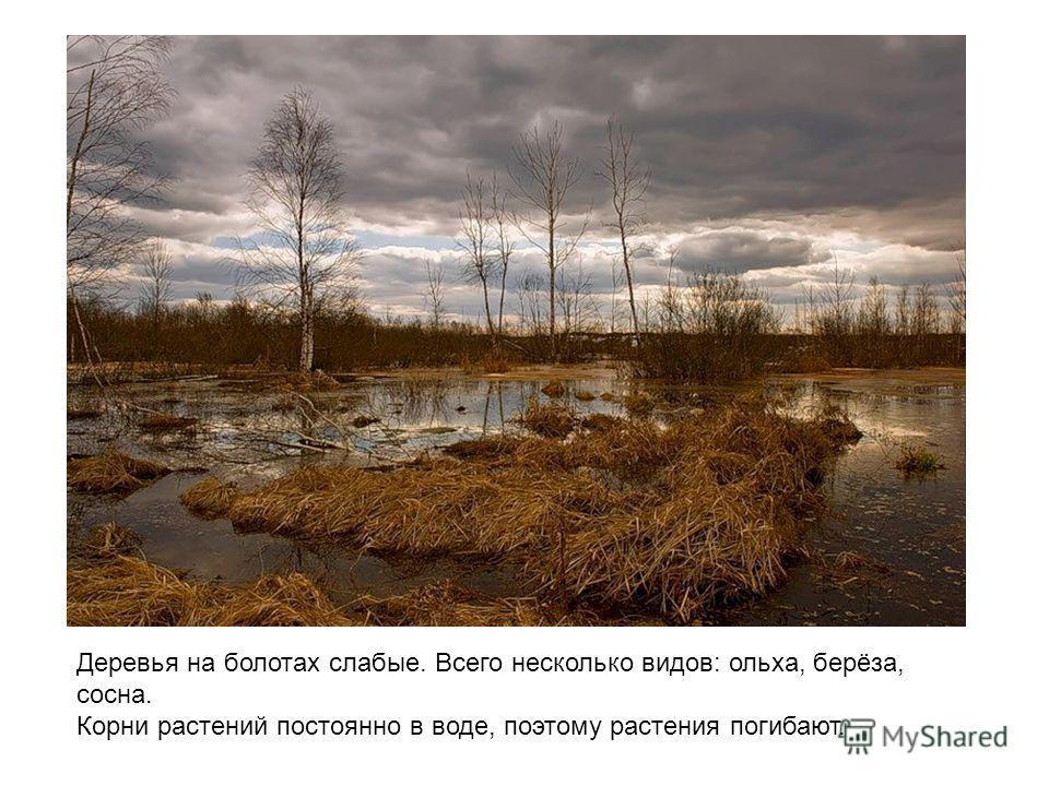 Деревья на болотах слабые. Всего несколько видов: ольха, берёза, сосна. Корни растений постоянно в воде, поэтому растения погибают.