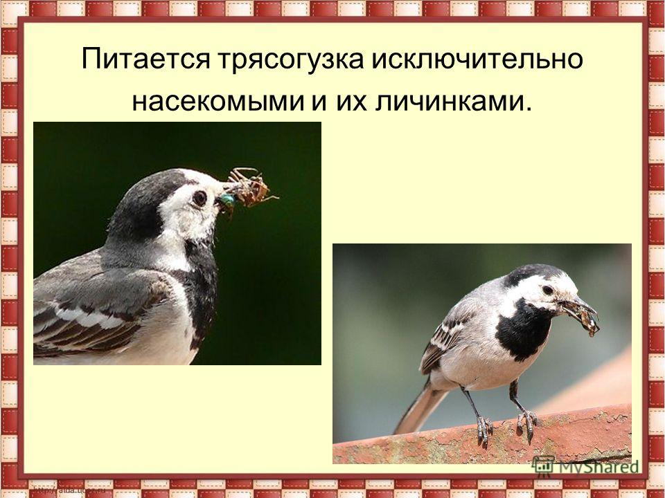 Питается трясогузка исключительно насекомыми и их личинками.