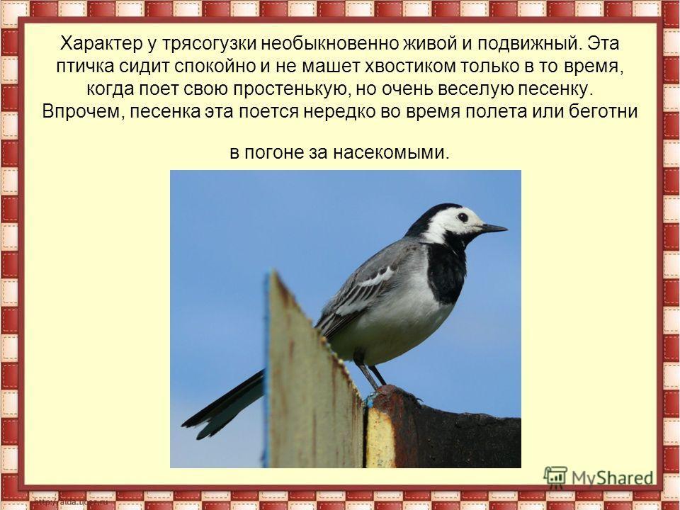 Характер у трясогузки необыкновенно живой и подвижный. Эта птичка сидит спокойно и не машет хвостиком только в то время, когда поет свою простенькую, но очень веселую песенку. Впрочем, песенка эта поется нередко во время полета или беготни в погоне з