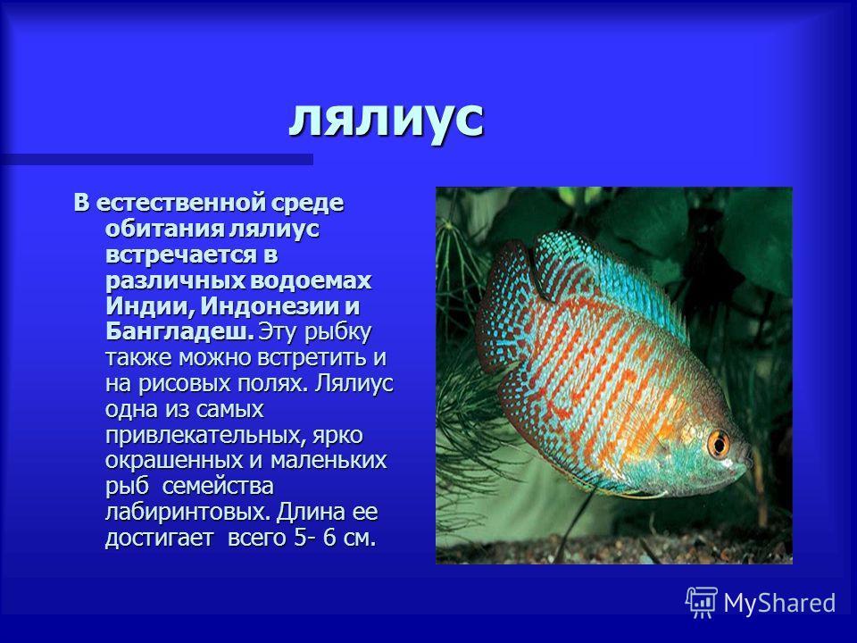 лялиус В естественной среде обитания лялиус встречается в различных водоемах Индии, Индонезии и Бангладеш. Эту рыбку также можно встретить и на рисовых полях. Лялиус одна из самых привлекательных, ярко окрашенных и маленьких рыб семейства лабиринтовы