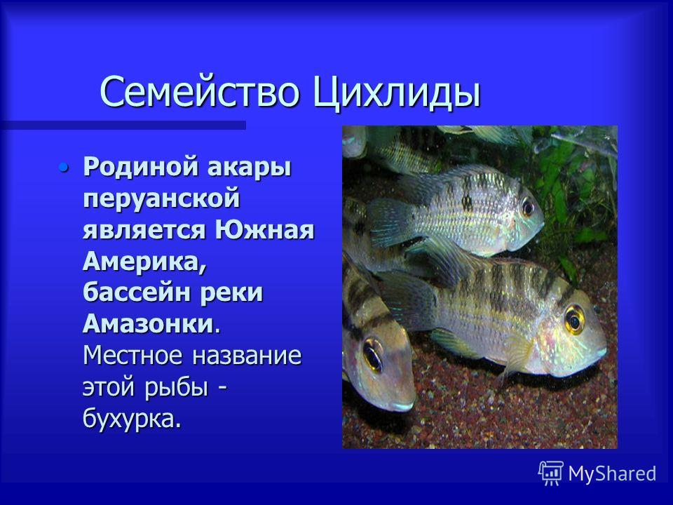 Семейство Цихлиды Семейство Цихлиды Родиной акары перуанской является Южная Америка, бассейн реки Амазонки. Местное название этой рыбы - бухурка.Родиной акары перуанской является Южная Америка, бассейн реки Амазонки. Местное название этой рыбы - буху