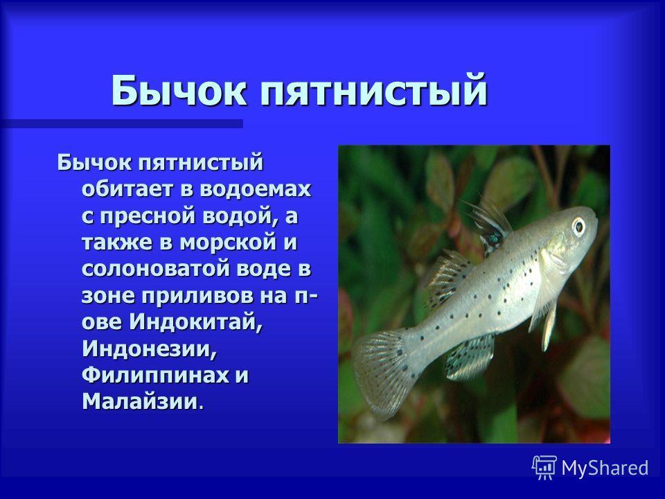 Бычок пятнистый Бычок пятнистый обитает в водоемах с пресной водой, а также в морской и солоноватой воде в зоне приливов на п- ове Индокитай, Индонезии, Филиппинах и Малайзии.