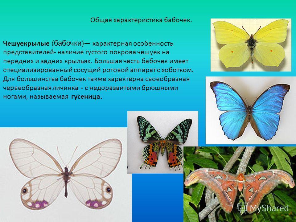 Общая характеристика бабочек. Чешуекрылые (бабочки) характерная особенность представителей- наличие густого покрова чешуек на передних и задних крыльях. Большая часть бабочек имеет специализированный сосущий ротовой аппарат с хоботком. Для большинств