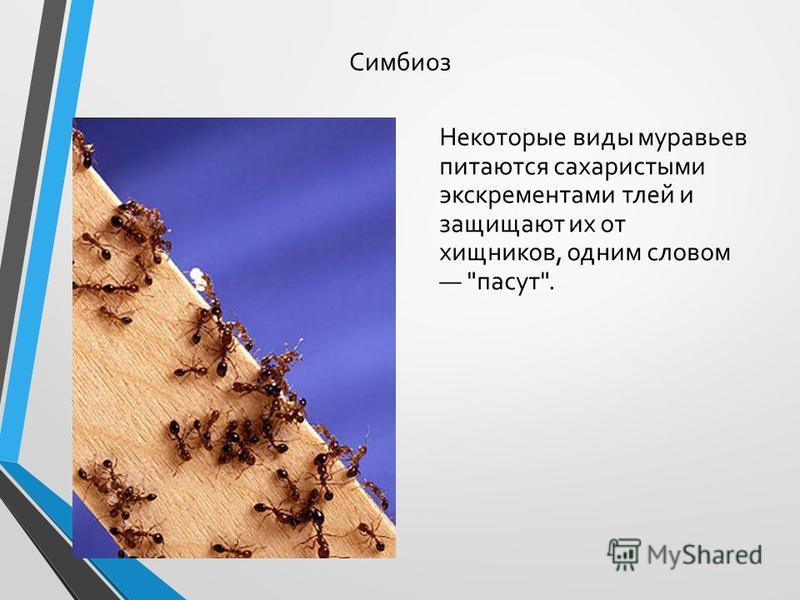 Симбиоз Некоторые виды муравьев питаются сахаристыми экскрементами тлей и защищают их от хищников, одним словом пасут.