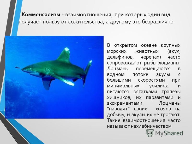 Комменсализм - взаимоотношения, при которых один вид получает пользу от сожительства, а другому это безразлично В открытом океане крупных морских животных (акул, дельфинов, черепах) часто сопровождают рыбы-лоцманы. Лоцманы перемещаются в водном поток