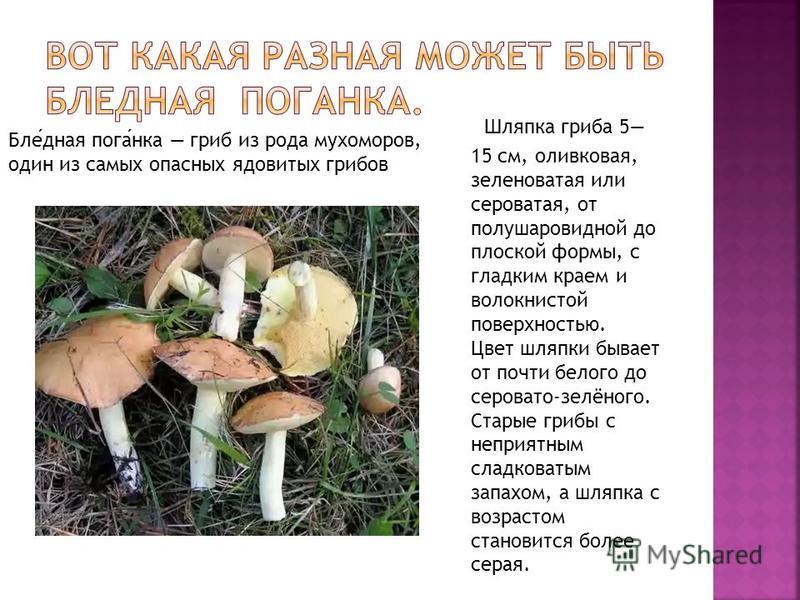 Шляпка гриба 5 15 см, оливковая, зеленоватая или сероватая, от полушаровидной до плоской формы, с гладким краем и волокнистой поверхностью. Цвет шляпки бывает от почти белого до серовато-зелёного. Старые грибы с неприятным сладковатым запахом, а шляп