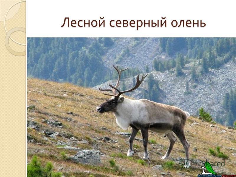 Лесной северный олень