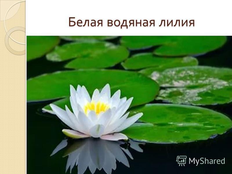 Белая водяная лилия