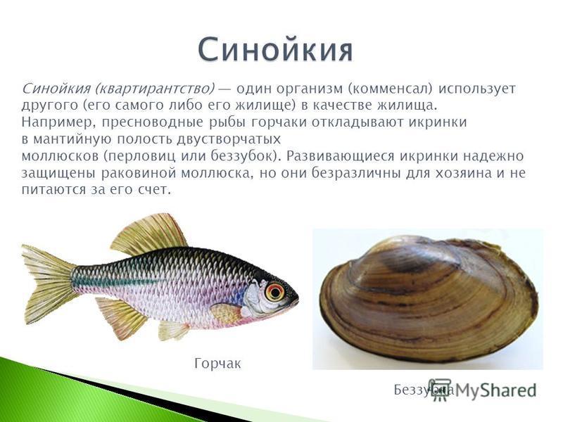 Синойкия (квартирантство) один организм (комменсал) использует другого (его самого либо его жилище) в качестве жилища. Например, пресноводные рыбы горчаки откладывают икринки в мантийную полость двустворчатых моллюсков (перловиц или беззубок). Развив