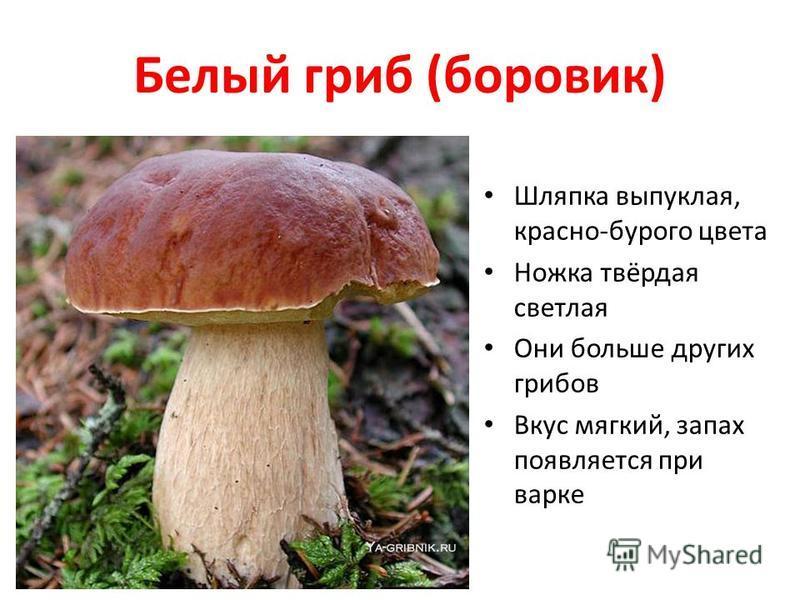 Белый гриб (боровик) Шляпка выпуклая, красно-бурого цвета Ножка твёрдая светлая Они больше других грибов Вкус мягкий, запах появляется при варке