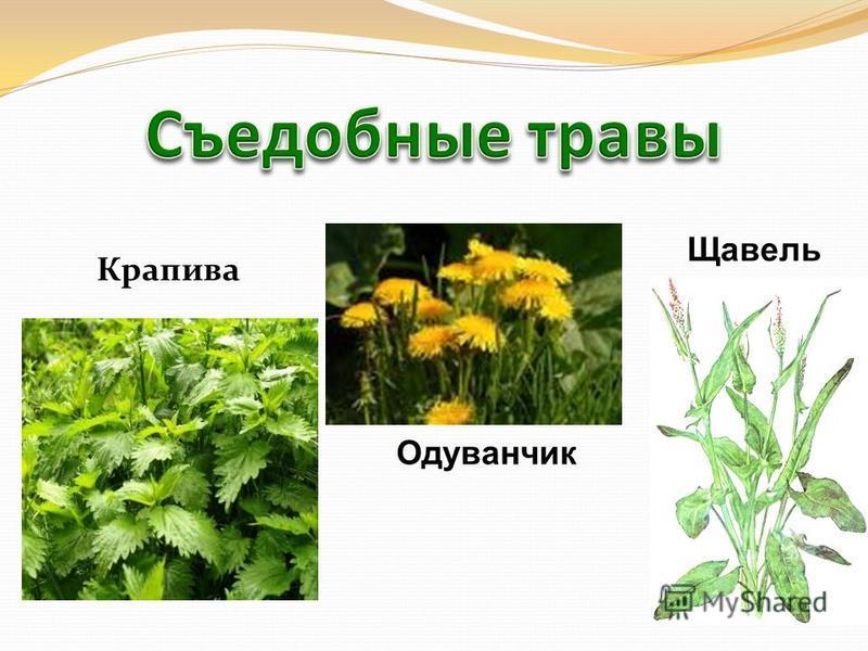 Крапива Одуванчик Щавель