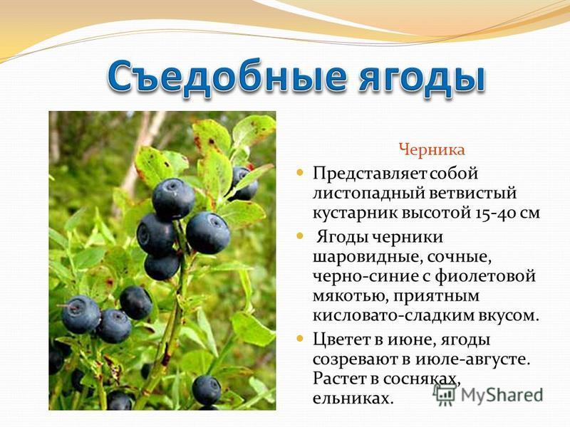 Черника Представляет собой листопадный ветвистый кустарник высотой 15-40 см Ягоды черники шаровидные, сочные, черно-синие с фиолетовой мякотью, приятным кисловато-сладким вкусом. Цветет в июне, ягоды созревают в июле-августе. Растет в сосняках, ельни