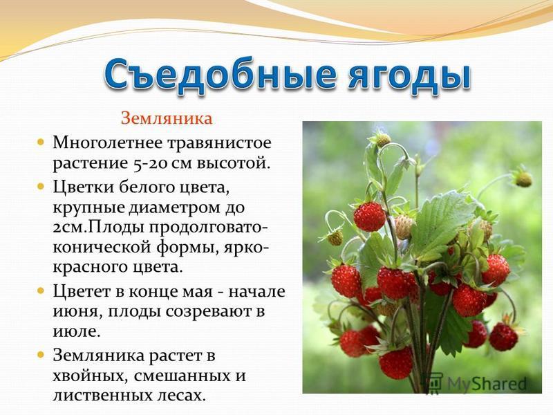 Земляника Многолетнее травянистое растение 5-20 см высотой. Цветки белого цвета, крупные диаметром до 2 см.Плоды продолговато- конической формы, ярко- красного цвета. Цветет в конце мая - начале июня, плоды созревают в июле. Земляника растет в хвойны