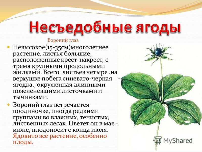 Вороний глаз Невысокое(15-35 см)многолетнее растение. листья большие, расположенные крест-накрест, с тремя крупными продольными жилками. Всего листьев четыре.на верхушке побега синевато-черная ягодка., окруженная длинными позеленевшими листочками и т