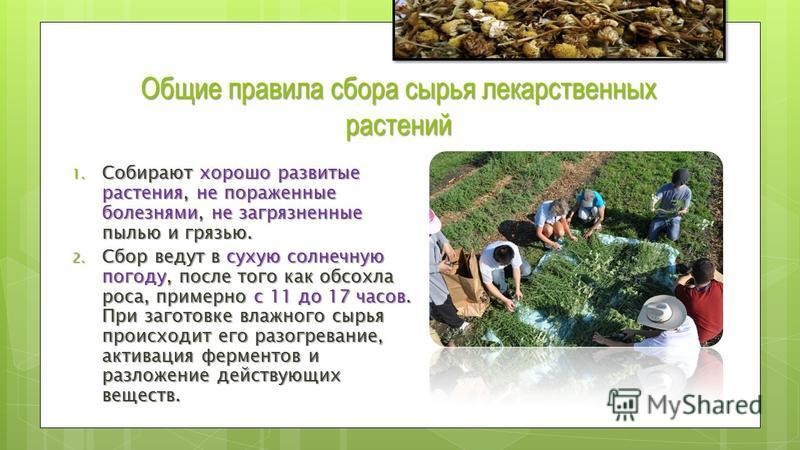 Инструкции по сбору и сушке лекарственного растительного сырья