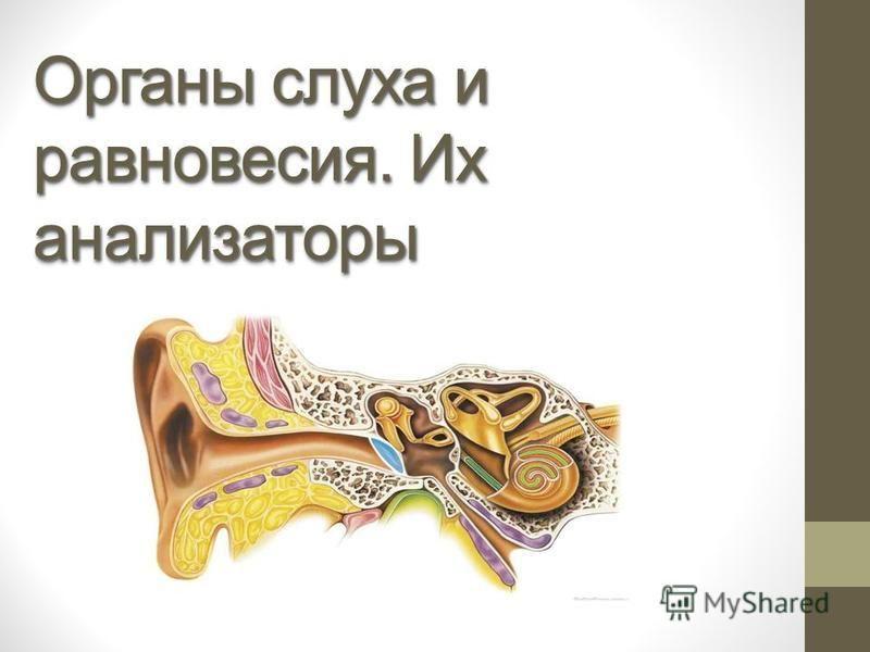Органы слуха и равновесия. Их анализаторы