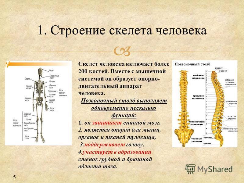 1. Строение скелета человека Скелет человека включает более 200 костей. Вместе с мышечной системой он образует опорно- двигательный аппарат человека. Позвоночный столб выполняет одновременно несколько функций: 1. он защищает спинной мозг, 2. является