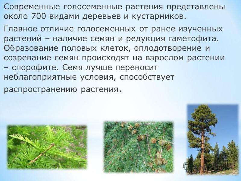Современные голосеменные растения представлены около 700 видами деревьев и кустарников. Главное отличие голосеменных от ранее изученных растений – наличие семян и редукция гаметофита. Образование половых клеток, оплодотворение и созревание семян прои