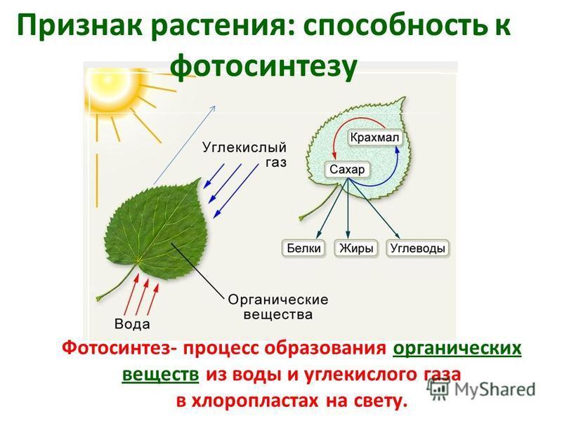 Признак растения: способность к фотосинтезу Фотосинтез- процесс образования органических веществ из воды и углекислого газа в хлоропластах на свету.