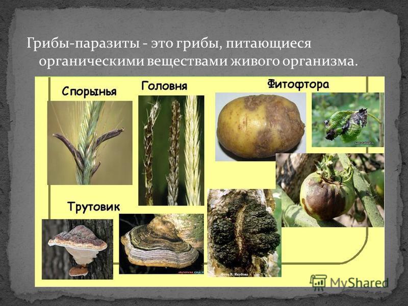 Грибы-паразиты - это грибы, питающиеся органическими веществами живого организма.