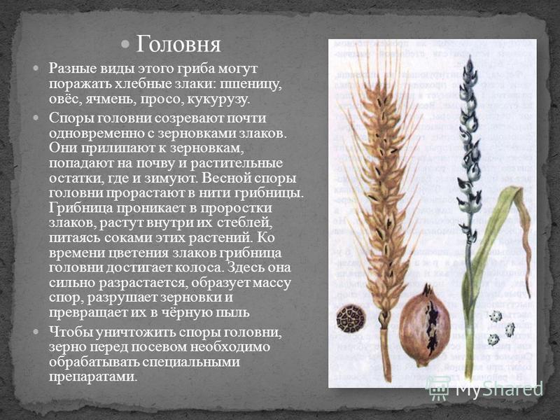 Головня Разные виды этого гриба могут поражать хлебные злаки: пшеницу, овёс, ячмень, просо, кукурузу. Споры головни созревают почти одновременно с зерновками злаков. Они прилипают к зерновкам, попадают на почву и растительные остатки, где и зимуют. В