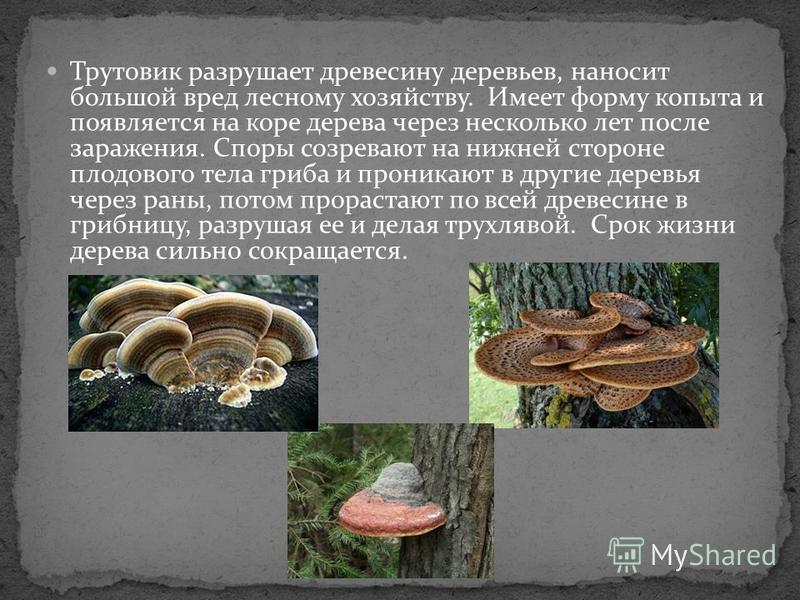 Трутовик разрушает древесину деревьев, наносит большой вред лесному хозяйству. Имеет форму копыта и появляется на коре дерева через несколько лет после заражения. Споры созревают на нижней стороне плодового тела гриба и проникают в другие деревья чер