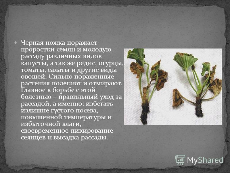 Черная ножка поражает проростки семян и молодую рассаду различных видов капусты, а так же редис, огурцы, томаты, салаты и другие виды овощей. Сильно пораженные растения полегают и отмирают. Главное в борьбе с этой болезнью – правильный уход за рассад
