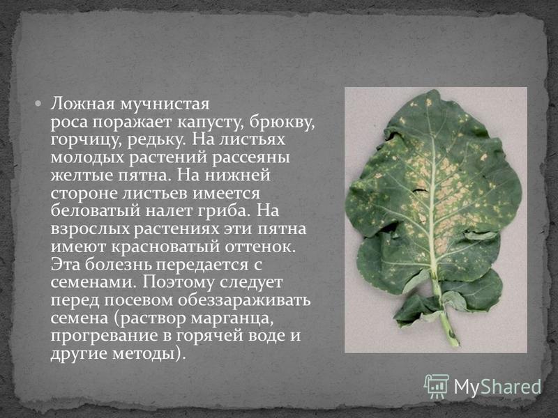 Ложная мучнистая роса поражает капусту, брюкву, горчицу, редьку. На листьях молодых растений рассеяны желтые пятна. На нижней стороне листьев имеется беловатый налет гриба. На взрослых растениях эти пятна имеют красноватый оттенок. Эта болезнь переда