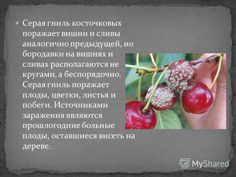 Серая гниль косточковых поражает вишни и сливы аналогично предыдущей, но бородавки на вишнях и сливах располагаются не кругами, а беспорядочно. Серая гниль поражает плоды, цветки, листья и побеги. Источниками заражения являются прошлогодние больные п