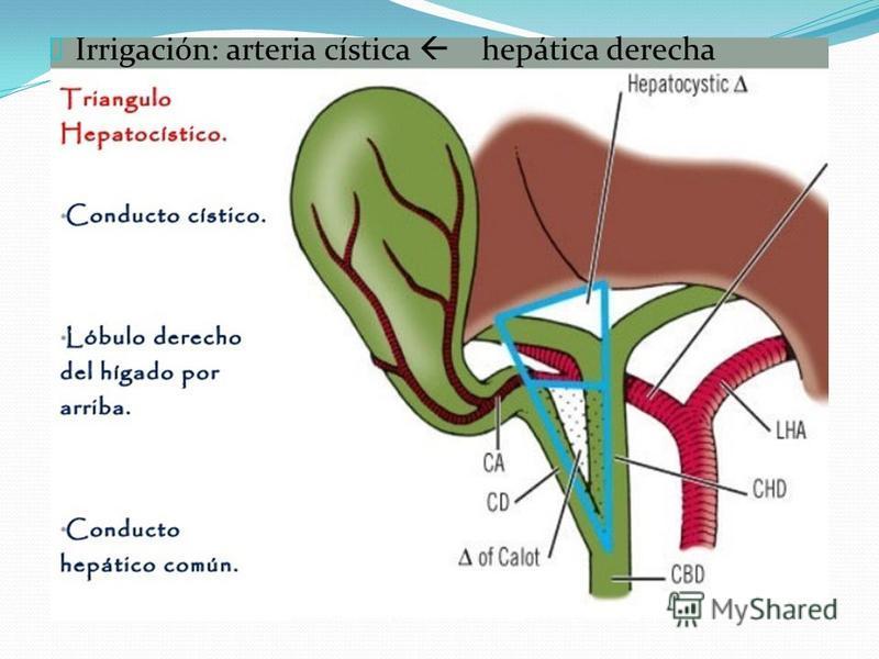 Lujoso Anatomía Arteria Cística Embellecimiento - Imágenes de ...