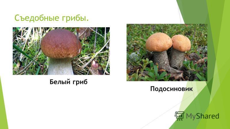 Съедобные грибы. Белый гриб Подосиновик