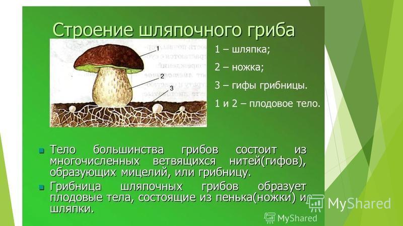 Строение шляпочных грибов Как-же устроены шляпочные грибы?