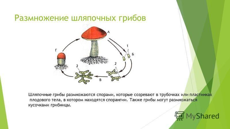 Размножение шляпочных грибов Шляпочные грибы размножаются спорами, которые созревают в трубочках или пластинках плодового тела, в котором находятся спорангии. Также грибы могут размножаться кусочками грибницы.
