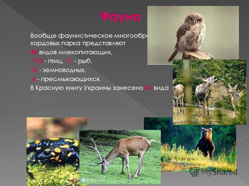 Вообще фаунистическое многообразие хордовых парка представляют 48 видов млекопитающих, 110 - птиц, 11 - рыб, 10 - земноводных, 6 - пресмыкающихся. В Красную книгу Украины занесено 44 вида