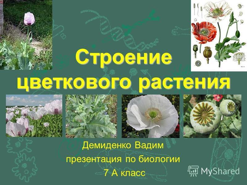 Строение цветкового растения Демиденко Вадим презентация по биологии 7 А класс
