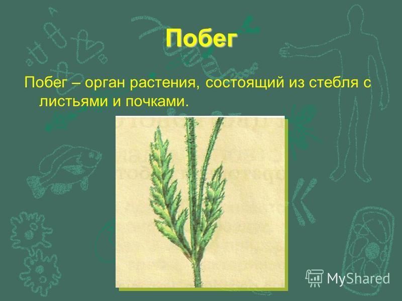 Побег Побег – орган растения, состоящий из стебля с листьями и почками.