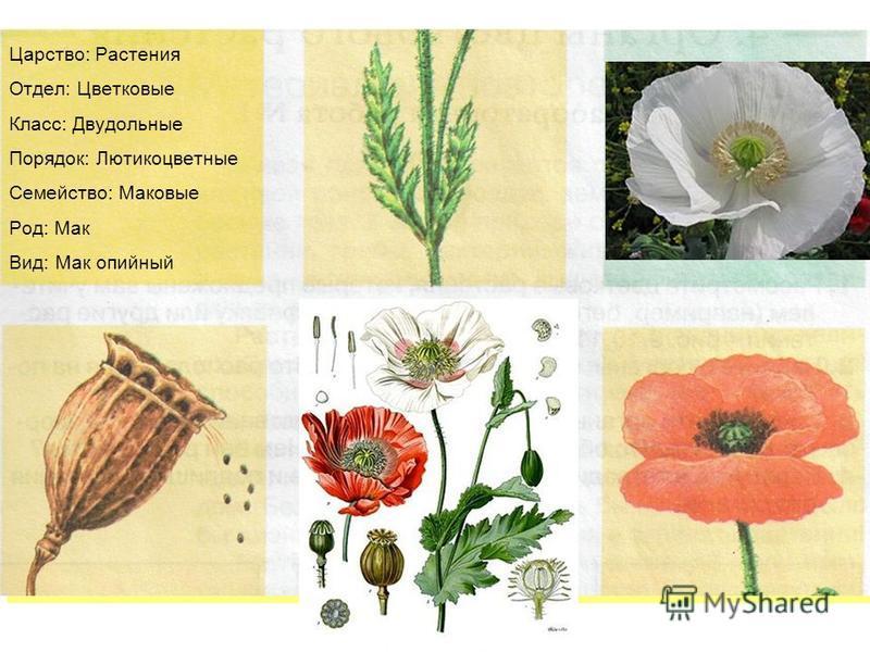 Царство: Растения Отдел: Цветковые Класс: Двудольные Порядок: Лютикоцветные Семейство: Маковые Род: Мак Вид: Мак опийный