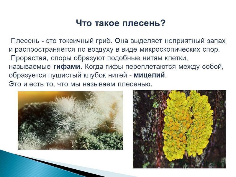 Что такое плесень? Плесень - это токсичный гриб. Она выделяет неприятный запах и распространяется по воздуху в виде микроскопических спор. Прорастая, споры образуют подобные нитям клетки, называемые гифами. Когда гифы переплетаются между собой, образ