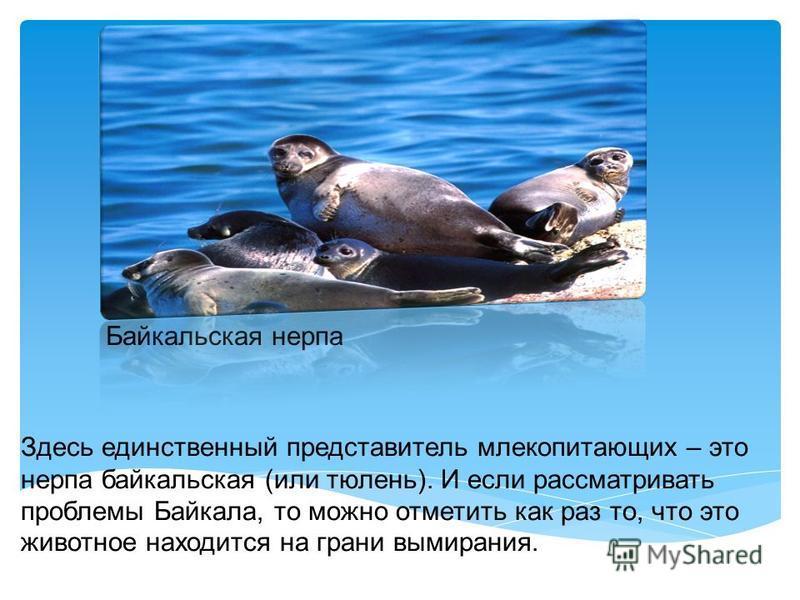 Рыба Голомянка водится только в Байкале. У нее отсутствует чешуя и она на треть состоит из жира. Рыба обладает такой прозрачностью, что сквозь нее можно читать газету!