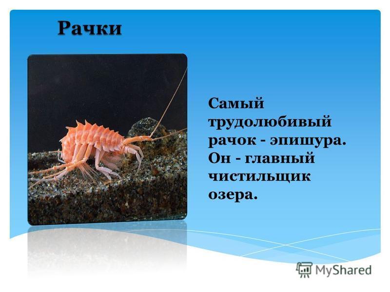 Байкальская нерпа Здесь единственный представитель млекопитающих – это нерпа байкальская (или тюлень). И если рассматривать проблемы Байкала, то можно отметить как раз то, что это животное находится на грани вымирания.