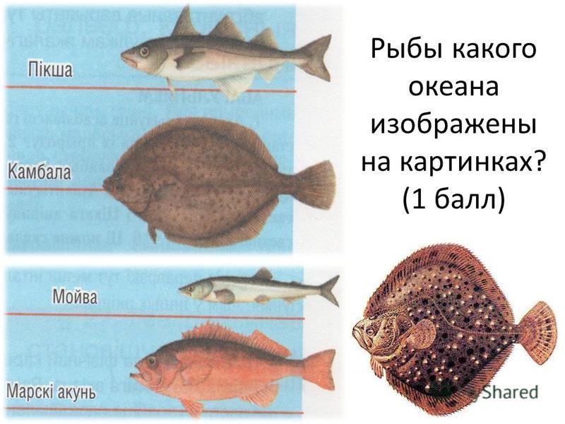 Рыбы какого океана изображены на картинках? (1 балл)