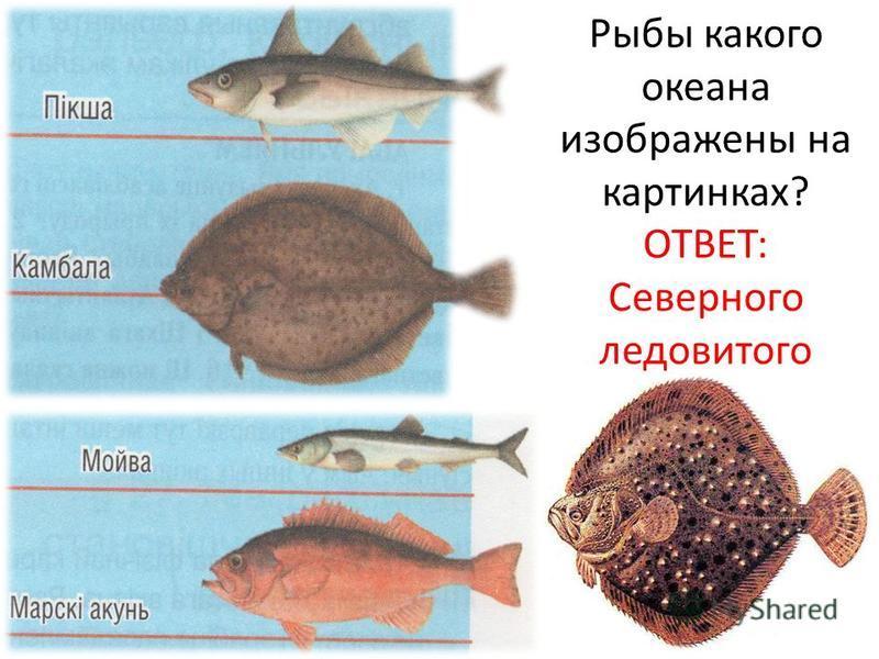 Рыбы какого океана изображены на картинках? ОТВЕТ: Северного ледовитого