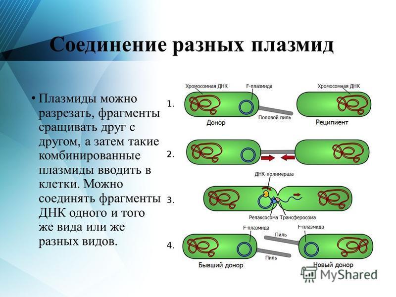 Соединение разных плазмид Плазмиды можно разрезать, фрагменты сращивать друг с другом, а затем такие комбинированные плазмиды вводить в клетки. Можно соединять фрагменты ДНК одного и того же вида или же разных видов.