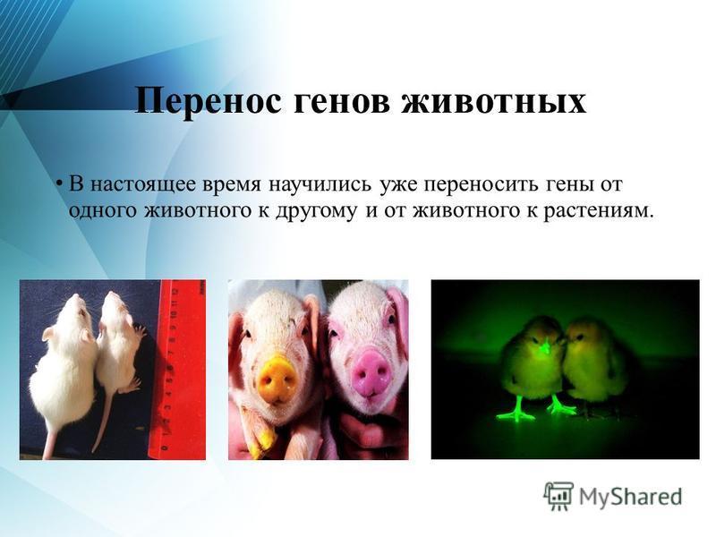 Перенос генов животных В настоящее время научились уже переносить гены от одного животного к другому и от животного к растениям.