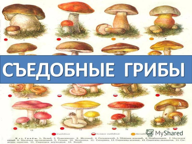 съедобные грибы. картинки