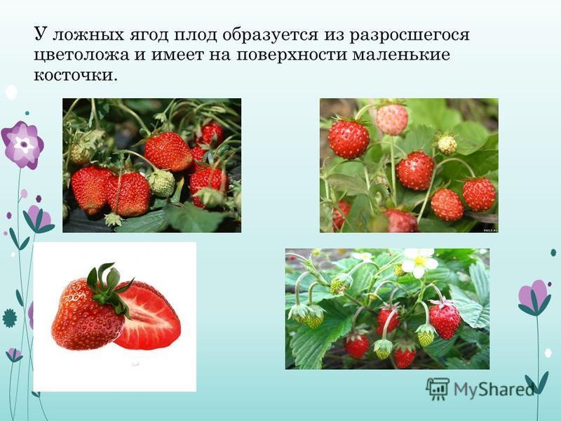 У ложных ягод плод образуется из разросшегося цветоложа и имеет на поверхности маленькие косточки.