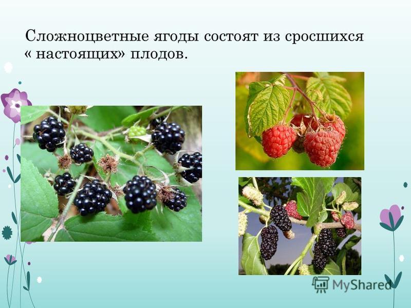 Сложноцветные ягоды состоят из сросшихся « настоящих» плодов.