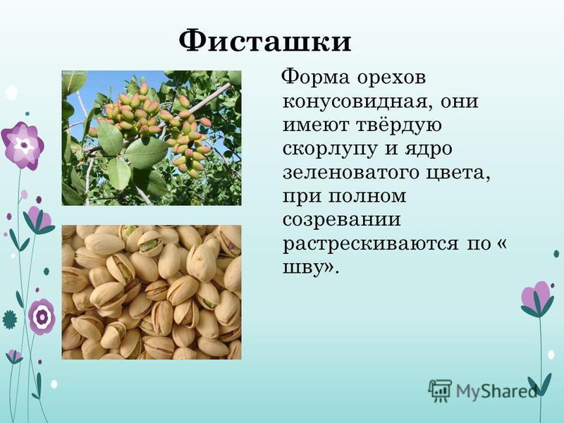 Фисташки Форма орехов конусовидная, они имеют твёрдую скорлупу и ядро зеленоватого цвета, при полном созревании растрескиваются по « шву».
